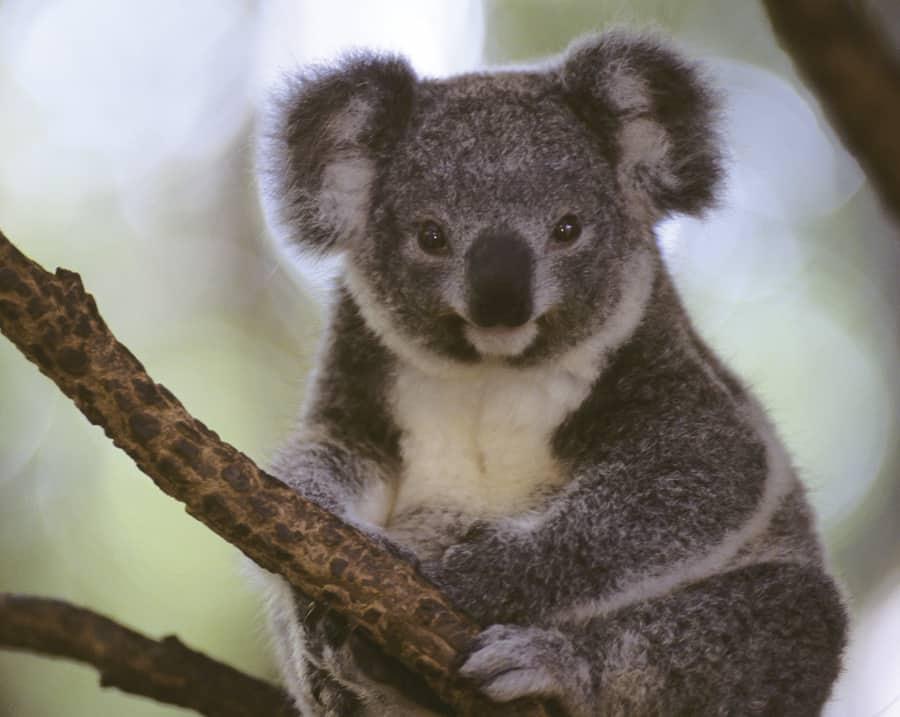 Syd-Koala1